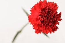 Free Red Carnation Stock Photography - 575362