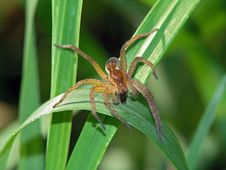 Free Spider Dolomedes Fimbriatus With A Trophy. Royalty Free Stock Images - 575919