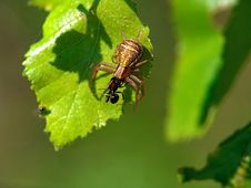 Spider Xysticus Cristatus, Eating An Ant. Stock Photos