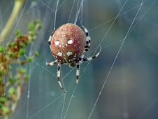 Free Spider Araneus Quadratus. Royalty Free Stock Photography - 575977