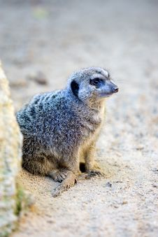 Free Small Meerkat On The Lookout For Danger Stock Images - 576234