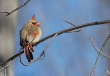 Free Female Cardinal Royalty Free Stock Photo - 576485