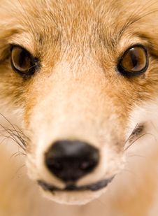 Free Stuffed Fox (Close View) Royalty Free Stock Photo - 577065