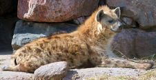 Free Spotted Hyena Stock Photos - 577153