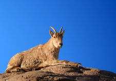 Free Barbary Sheep Royalty Free Stock Image - 577316