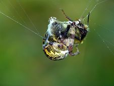 Free Spider And Its Victim. Royalty Free Stock Photography - 578627