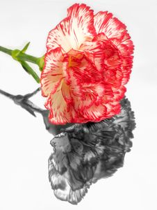 Free Carnation - Mirror Flower Royalty Free Stock Photography - 578747