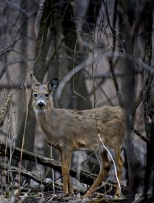 Free White-Tailed Deer (Odocoileus Virginianus) Stock Photo - 579970