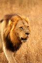 Free Lion In Sabi Sands Royalty Free Stock Photography - 5700627