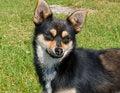 Free Small Dog 11 Royalty Free Stock Image - 5700926