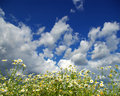 Free Camomile Flowers Stock Photos - 5702543