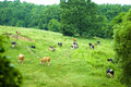 Free Grazing Cows Royalty Free Stock Photo - 5703995