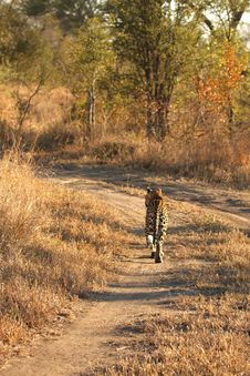 Free Leopard In The Sabi Sands Royalty Free Stock Photos - 5700108