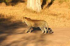 Free Leopard In The Sabi Sands Stock Image - 5700151