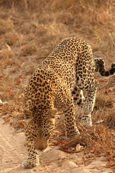 Free Leopard In The Sabi Sands Royalty Free Stock Photos - 5700298