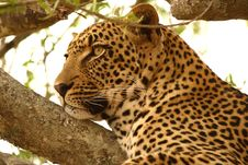 Free Leopard In A Tree Royalty Free Stock Photo - 5700335
