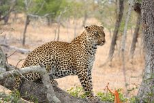 Free Leopard In A Tree Royalty Free Stock Images - 5700379