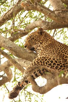 Free Leopard In A Tree Stock Photography - 5700382