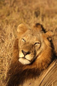 Free Lion In Sabi Sands Stock Images - 5700564