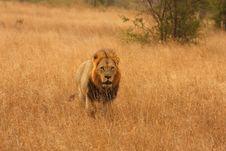 Free Lion In Sabi Sands Royalty Free Stock Image - 5700626