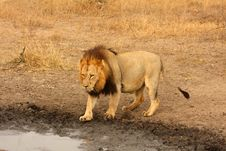 Lion In Sabi Sands Royalty Free Stock Images