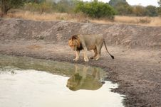 Free Lion In Sabi Sands Royalty Free Stock Photo - 5700755