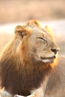 Free Lion In Sabi Sands Stock Photo - 5700830