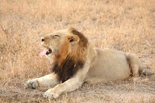 Free Lion In Sabi Sands Royalty Free Stock Photography - 5700837