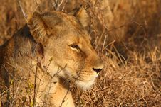 Free Lioness In Sabi Sands Stock Photos - 5700883