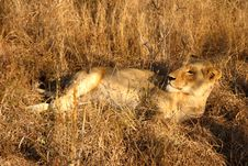 Free Lioness In Sabi Sands Stock Images - 5700884
