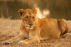 Free Lion In Sabi Sands Stock Image - 5700911
