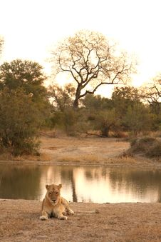 Free Lioness In Sabi Sands Stock Photography - 5700922