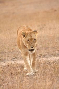 Free Lioness In Sabi Sands Royalty Free Stock Photos - 5700948