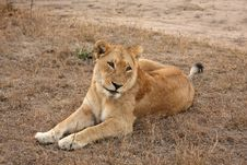 Free Lioness In Sabi Sands Royalty Free Stock Images - 5701019