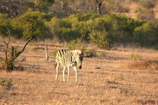 Free Zebra In Sabi Sands Royalty Free Stock Image - 5701096