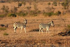 Free Zebra In Sabi Sands Stock Photo - 5701150