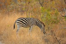 Free Zebra In Sabi Sands Royalty Free Stock Photo - 5701155