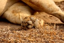 Lion Paw Stock Images