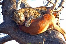 Free Leopard In A Tree With Kill Royalty Free Stock Photos - 5701278