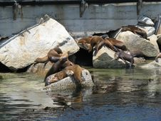 Free California Sea Lions Stock Photography - 5701702