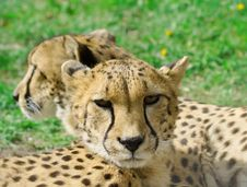 Free Cheetah Over The Grass Background Royalty Free Stock Photo - 5701745