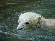 Free Great White North Bear Stock Photo - 5701790