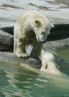 Free Great White North Bear Royalty Free Stock Photos - 5701798