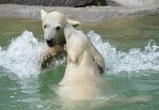 Free Great White North Bear Stock Photography - 5701802