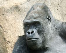 Free Gorilla. The Great Monkey. Royalty Free Stock Photos - 5701838