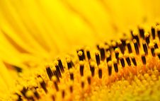 Free Sunflower Royalty Free Stock Images - 5702199