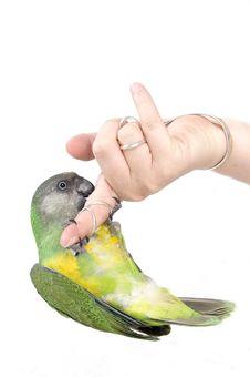 Free Green Parrot Hanging Stock Photo - 5702910
