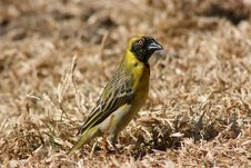 Free South African Weaver Royalty Free Stock Photo - 5703335