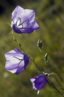 Free Little Blue Flowers Stock Photo - 5703420