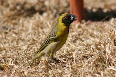 Free South African Weaver Stock Photos - 5703433